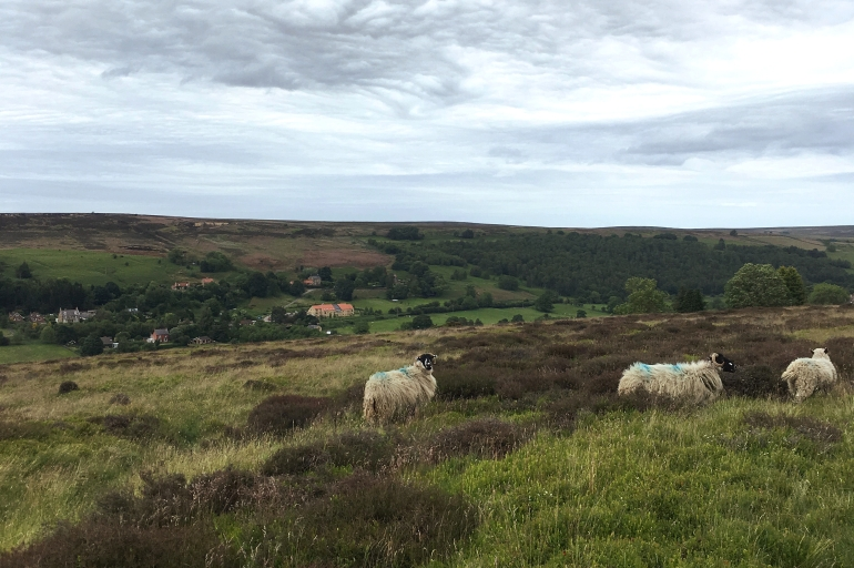 sheep wandering in heather moorland in the north york moors national park