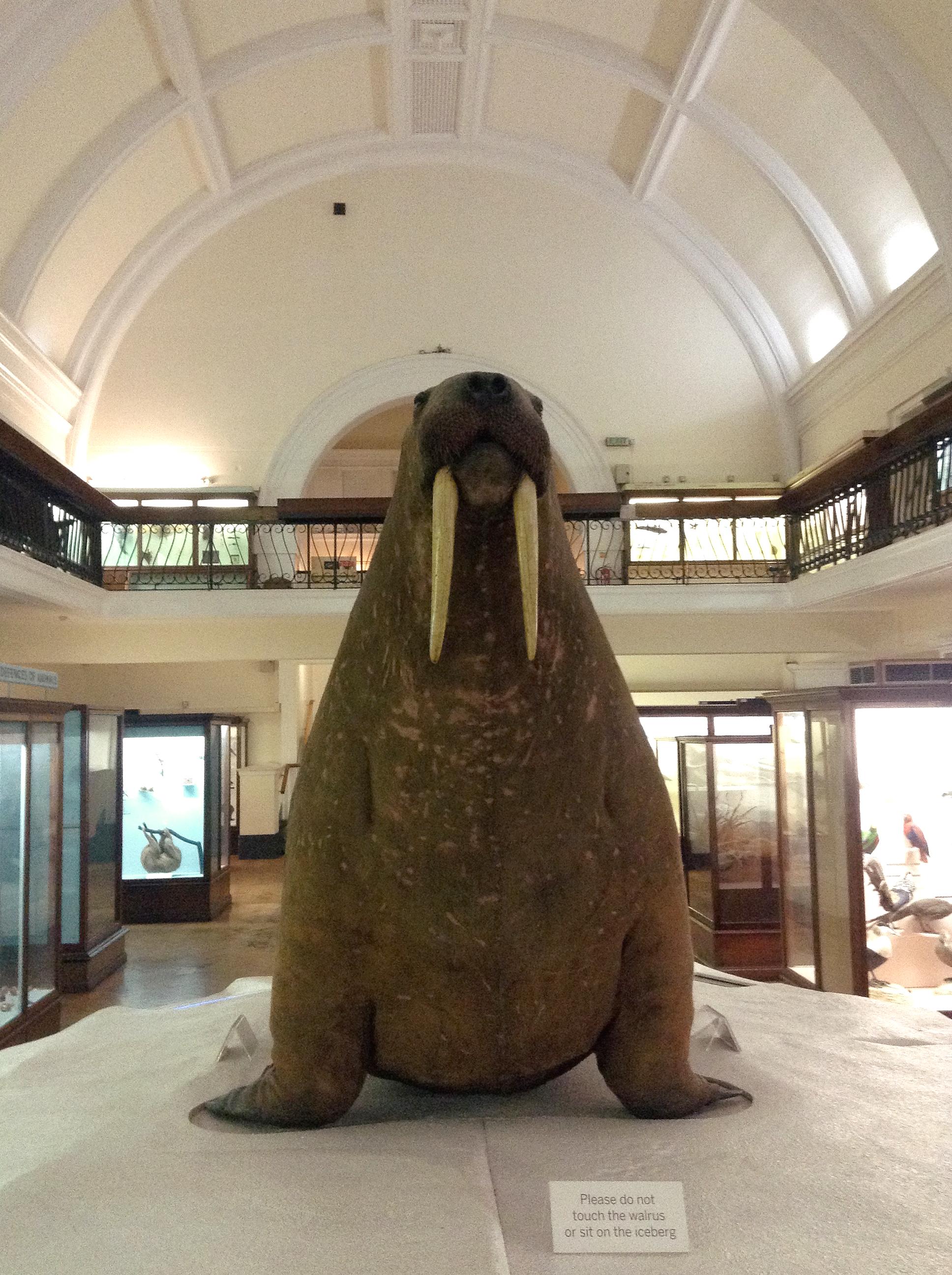 walrus in horniman museum gallery